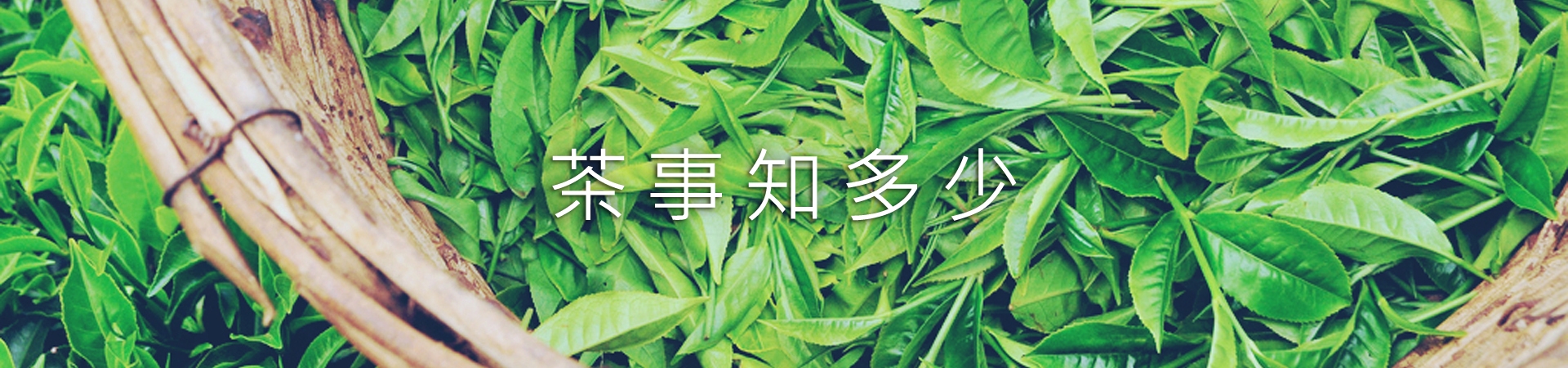 茶葉製作-採茶  Tea Picking~那個要採茶葉青!